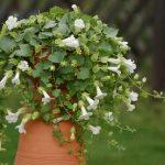 Lophospermum - Lofos Compact White