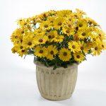 Osteospermum - Ostica™ Amber