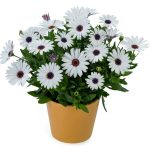 Osteospermum - Ostica™ Purple Eye