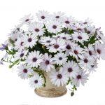 Osteospermum - Osticade™ White Blush