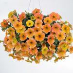 Petunia - Vegetative - Cascadias™ Indian Summer