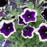 Petunia - Vegetative - Cascadias™ Rim Magenta