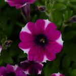 Petunia - Mini - Littletunia® Bicolor Bliss