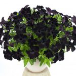 Petunia - Vegetative - Ray™ Black