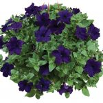 Petunia - Vegetative - Ray™ Blue