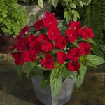 Sunpatiens® - Compact Fire Red