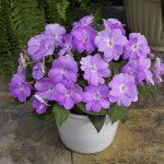 Sunpatiens® - Compact Orchid