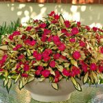 Sunpatiens® - Compact Tropical Rose