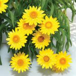 Bracteantha - Golden Strawflower