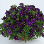 Calibrachoa - Noa™ Deep Purple