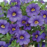 Calibrachoa - Noa® Mega Violet