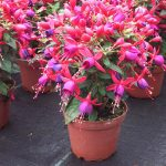 Fuchsia Mini - Sunbeam® Rocky