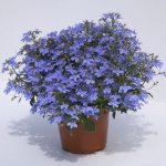 Lobelia - Hot® Water Blue Improved