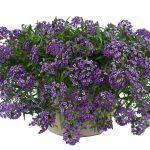 Lobularia - Stream™ Lavender