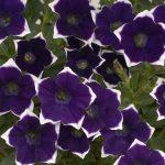 Petunia - Vegetative - Cascadias™ Violet Rim