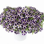 Petunia - Vegetative - Amore™ Purple