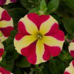 Petunia - Vegetative- Amore™ Queen of Hearts