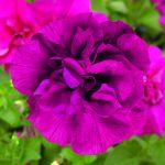 Petunia - Double Wave™ Purple