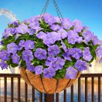 Petunia - Vegetative - Ray™ Clear Days