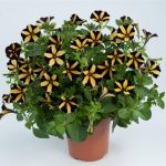 Petunia - Vegetative - Ray™ Sunflower