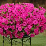 Petunia - Vegetative - Sumo® Pink
